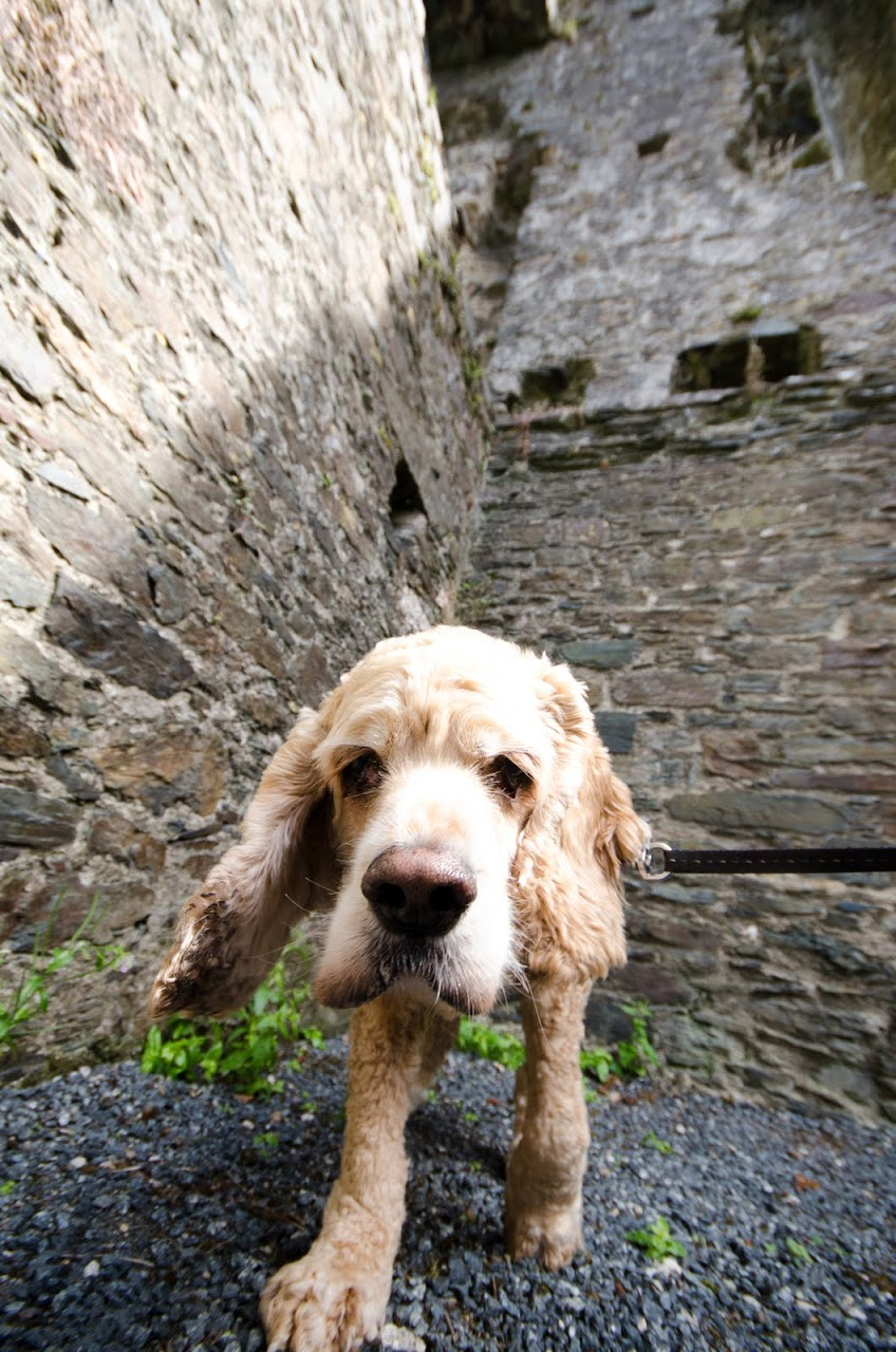 Chewy at Restormel Castle